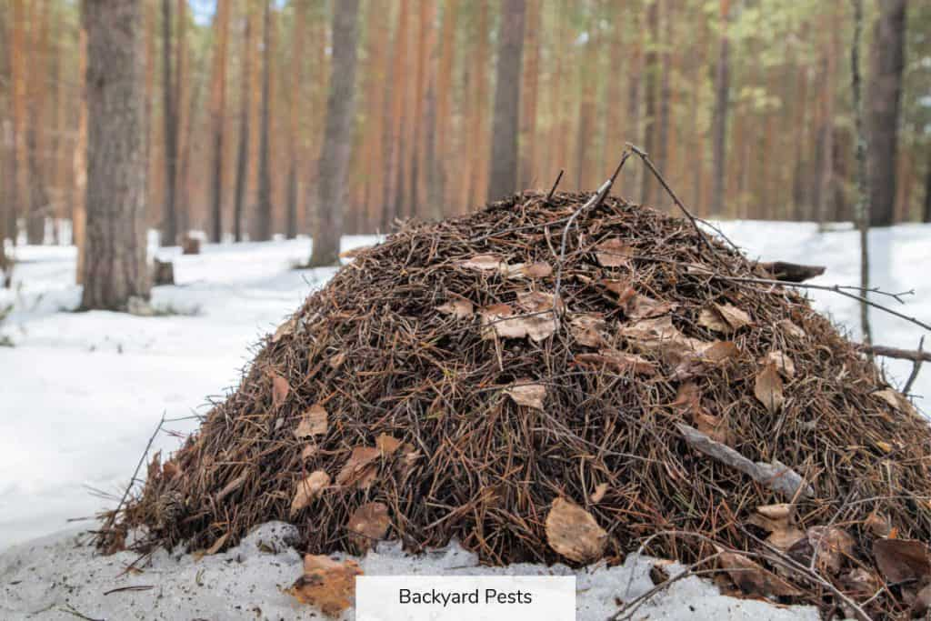 Photo of ant nest mound in snow during winter