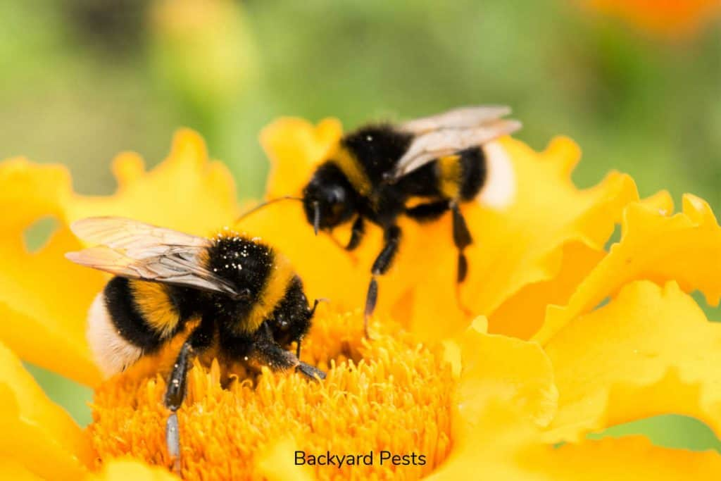 Photo of two bumblebees on a bright yellow flower in a yard