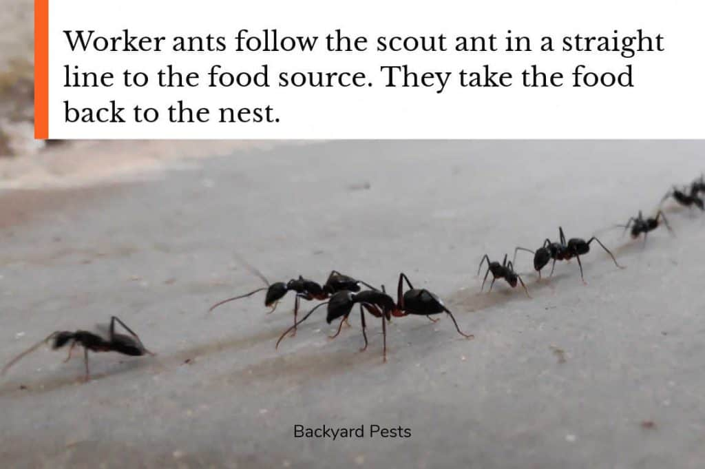 Worker ants following a scout ant to the food source