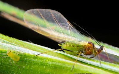 Flying Aphids: Yes, They Exist And Here's Why…