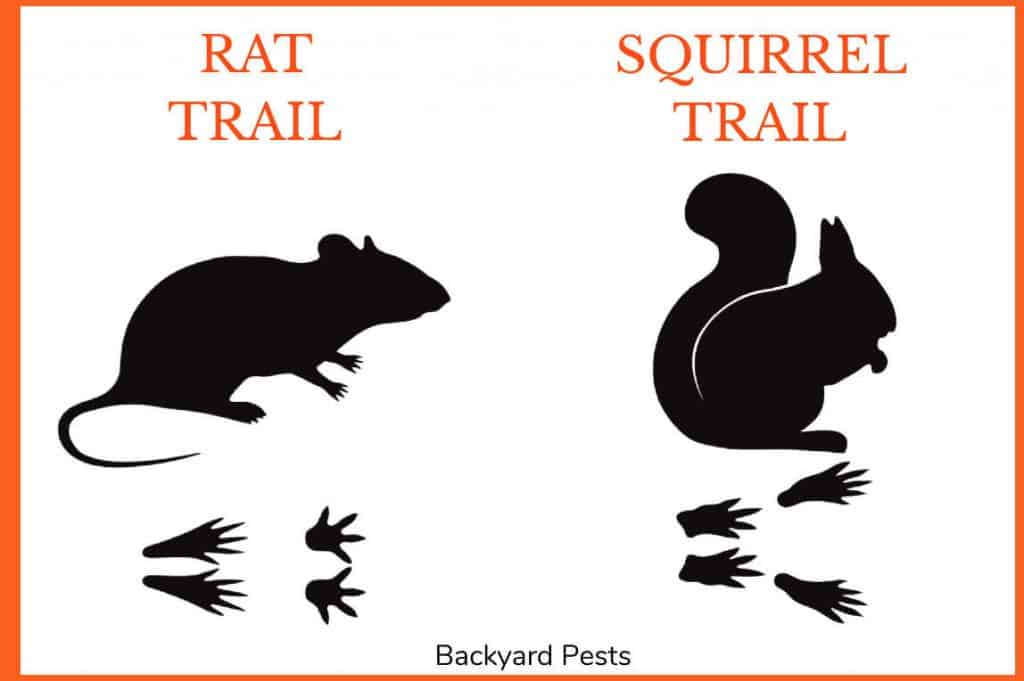 Drawings showing the differences between a rat's trail and a squirrel's trail
