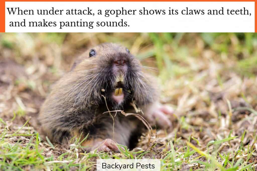 Gopher showing signs of aggression