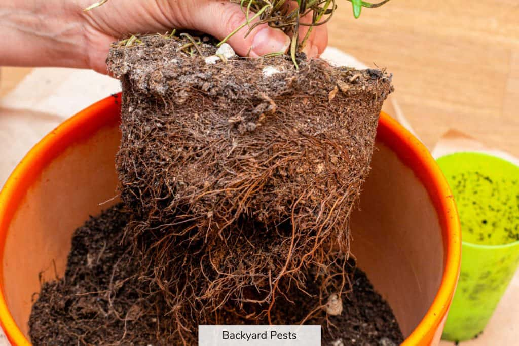 Photo of a potted plant being inspected for soil mites and root aphids