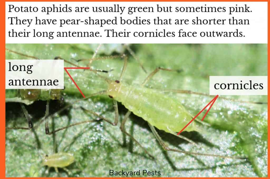 Photo of a a green potato aphid with labels to their long antennae and outward-facing cornicles