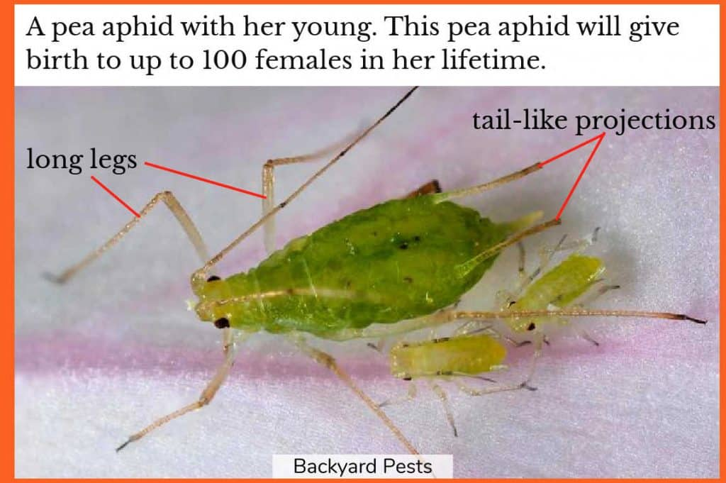 Photo of a green female pea aphid with labels to her long legs and tail-like projections