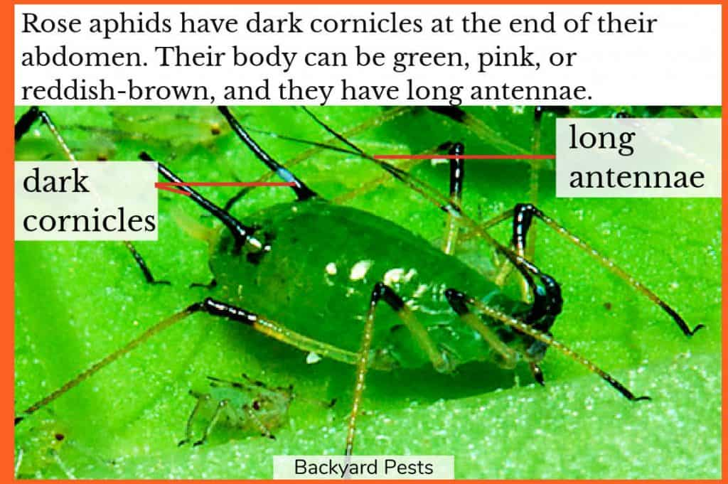 Photo of a green rose aphids with labels showing long antennae and dark cornicles