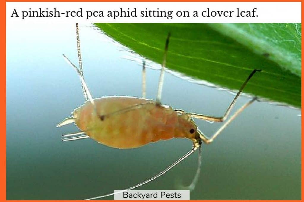 Photo of a pinkish-red pea aphid sitting on a leaf