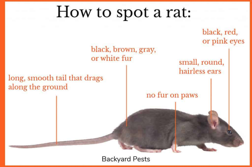 Photo of a rat with labels on how to know you are looking at a rat