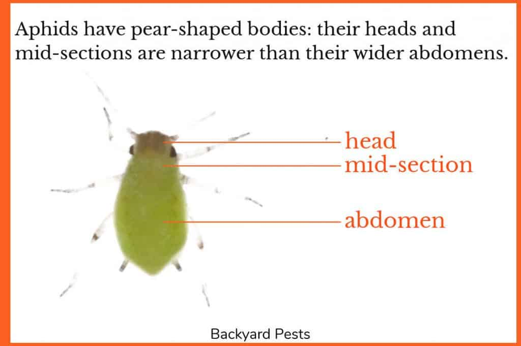 Photo of a single aphid with labels showing the narrow head and mid-section and the wider abdomen