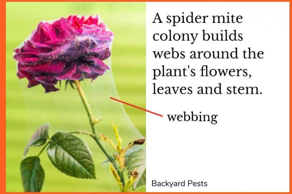 Photo of a spider mite web around a rose's flower, leaves and stem