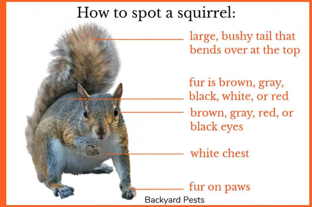 Photo of a squirrel with labels on how to know you are looking at a squirrel
