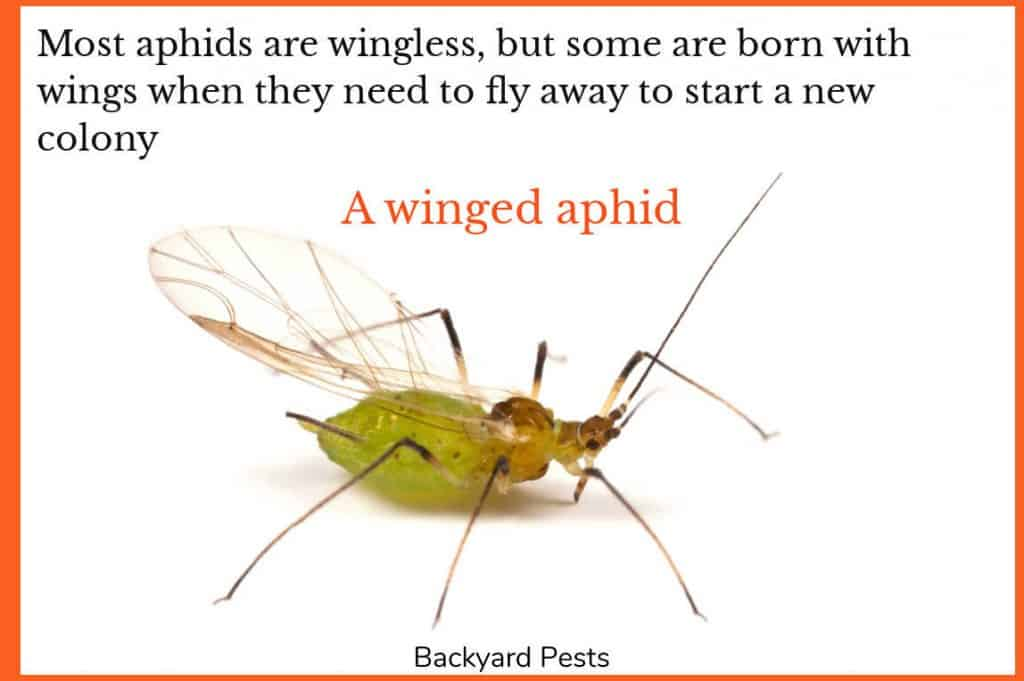 Photo of an aphid with wings
