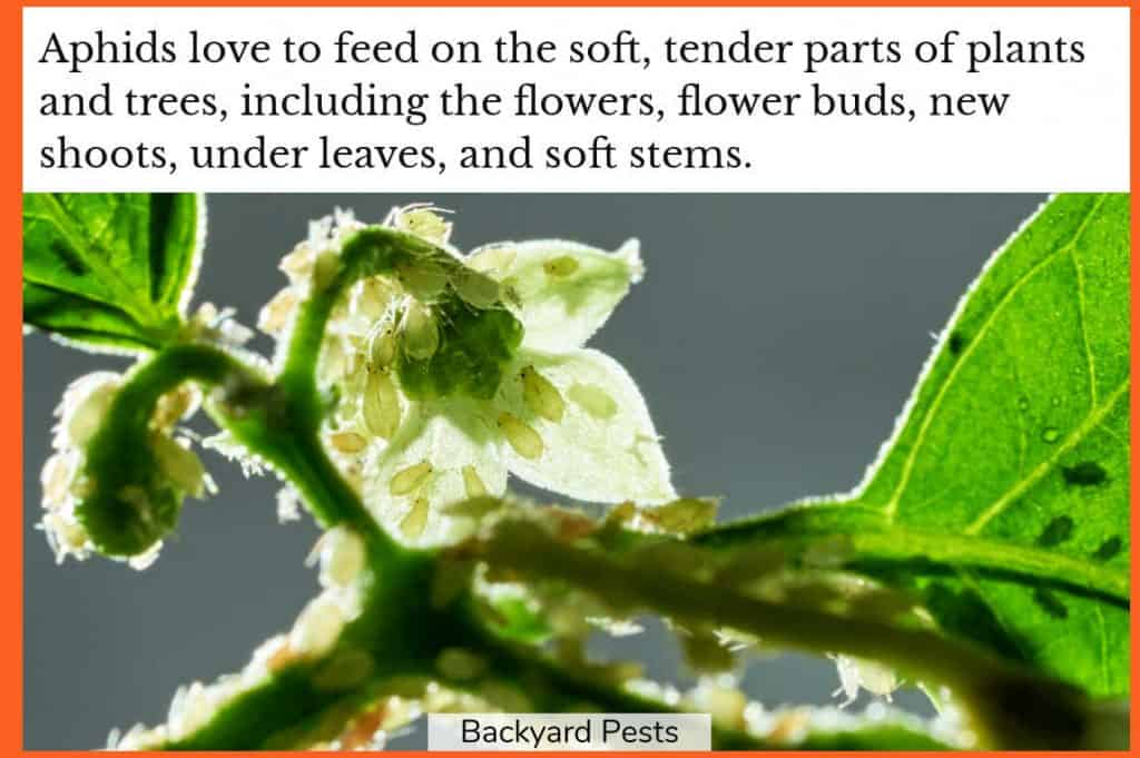 Photo-of-aphids-feeding-on-a-flower-bud-flower-stem-and-leaves