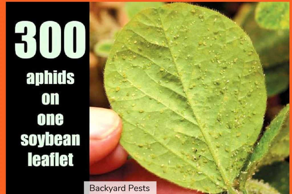 Photo showing 300 aphids on one soybean leaf