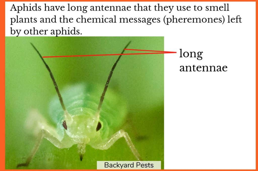 Photo showing the long antennae of aphids, which they use to smell the world around them