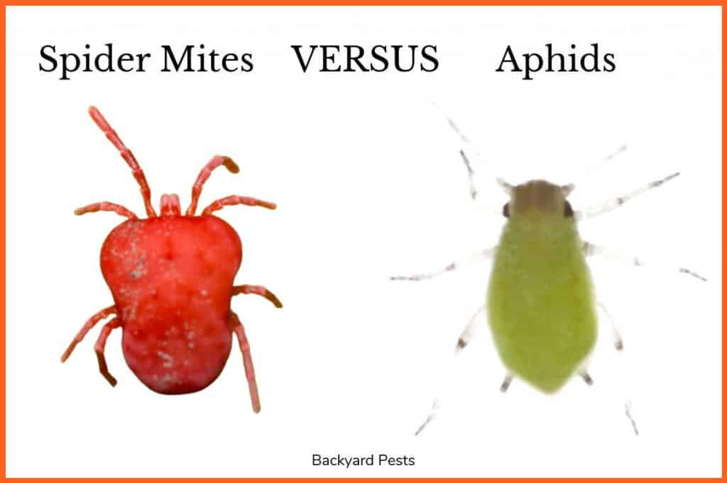 Picture showing a spider mite next to an aphid for comparison