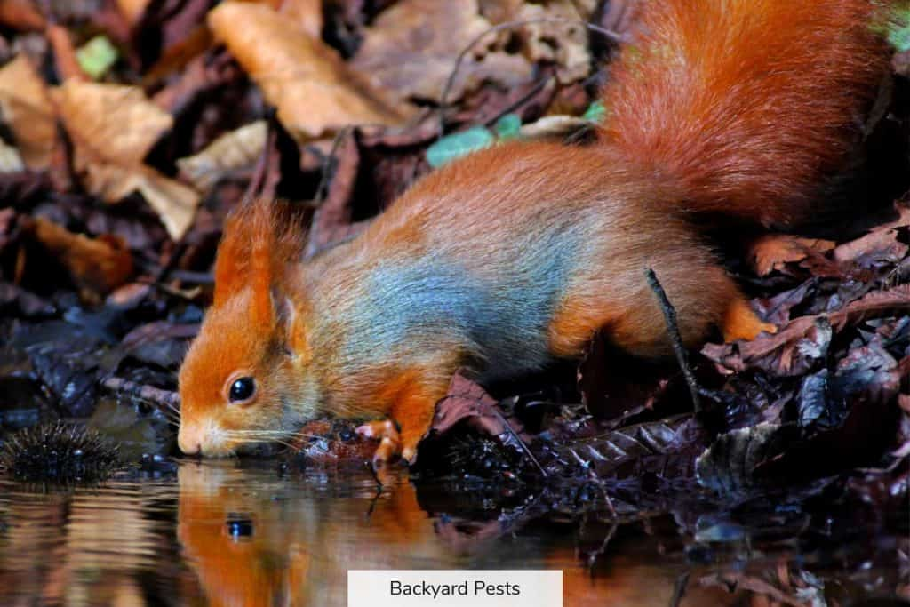 Photo of a red squirrel drinking water from a pond of water in a forest