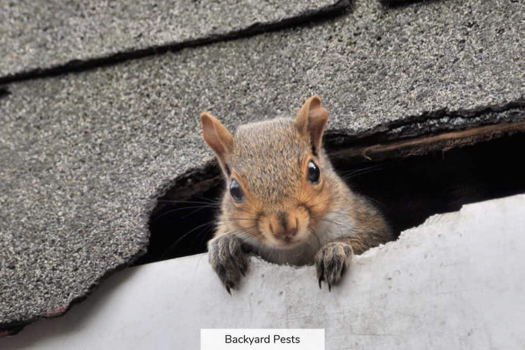 Gray squirrel looking out from under roof shingles
