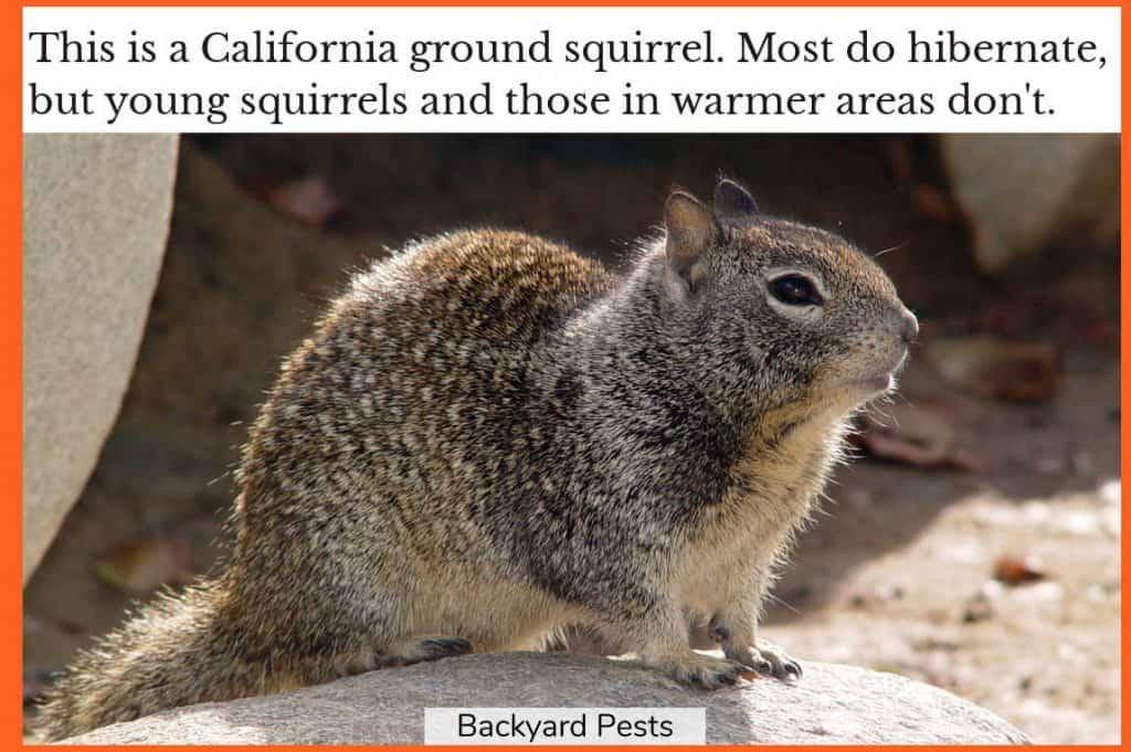 Photo of a California ground squirrel