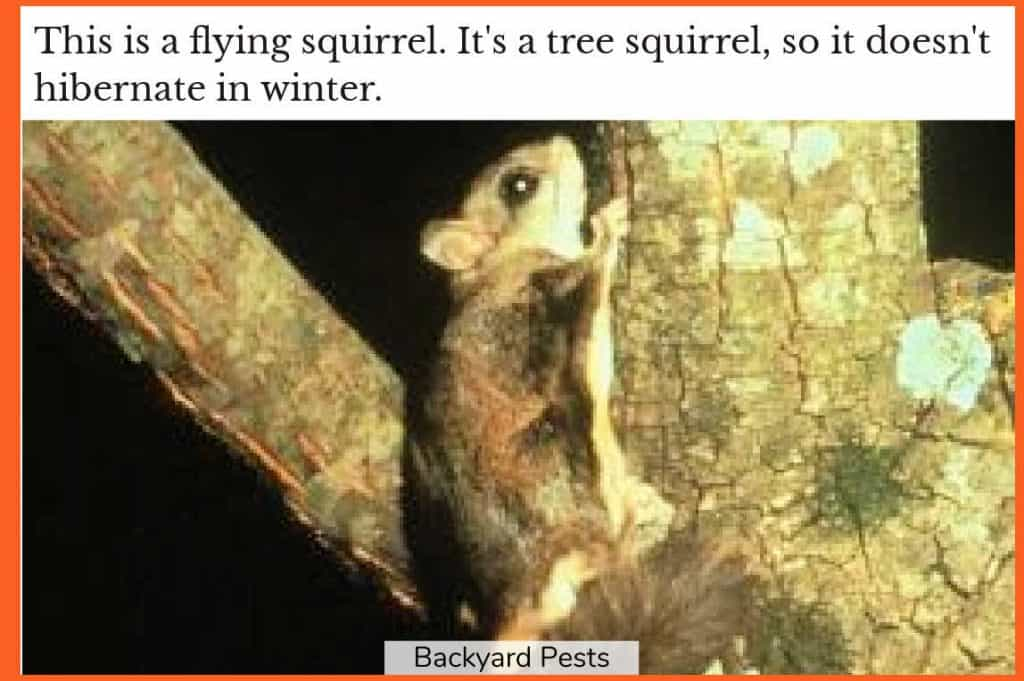 Photo of a flying squirrel in a tree
