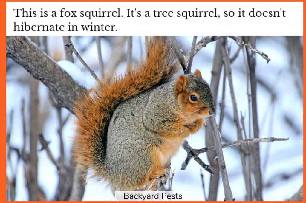 Photo of a fox squirrel in a tree