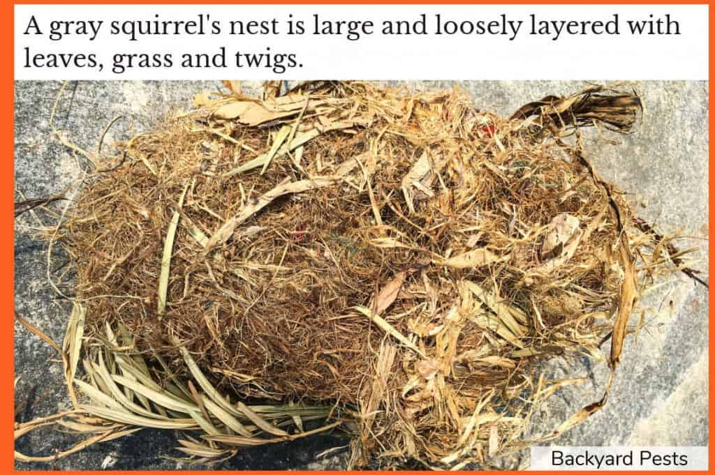 Photo of a gray squirrel's nest showing it as large and loosely layered