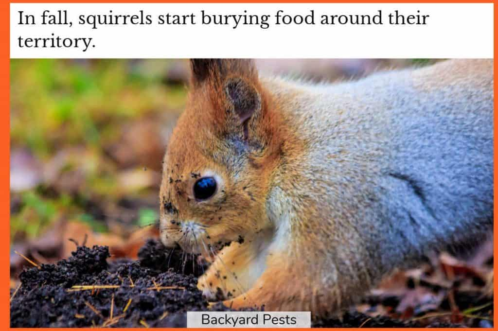Photo of a squirrel burying food in the soil
