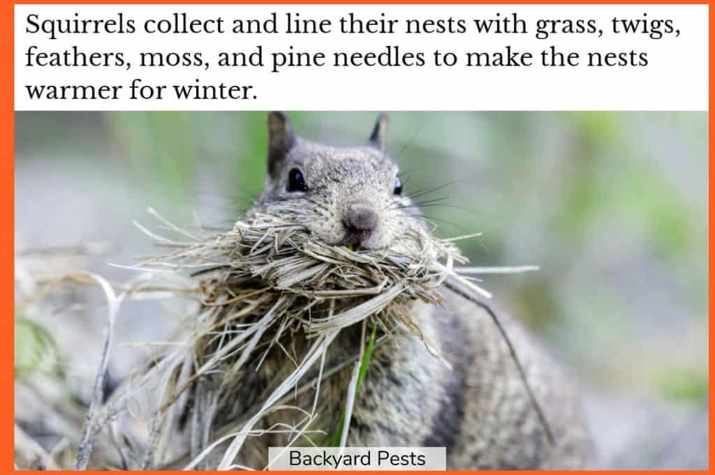 Photo of a squirrel with its mouth full of dry grass that it will line its nest with to make it warmer