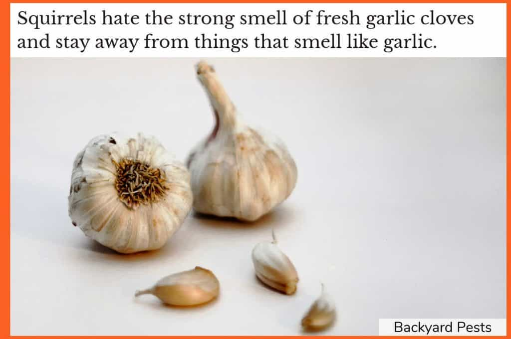 Photo of garlic cloves - a smell that squirrels hate