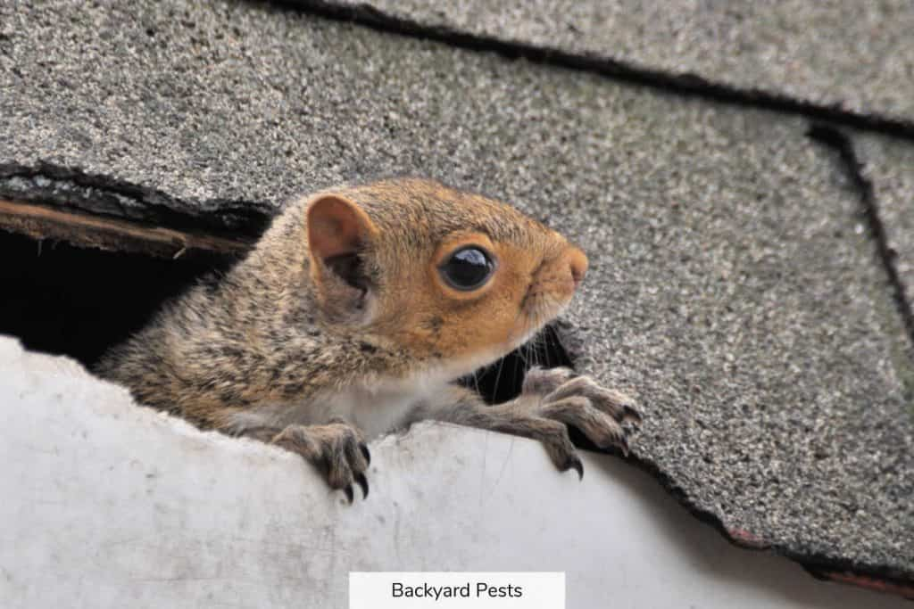 Squirrel looking out of a roof hole