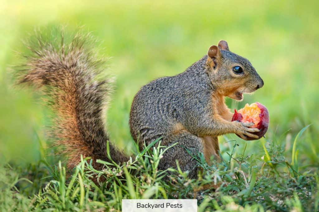Photo of a gray squirrel eating fruit