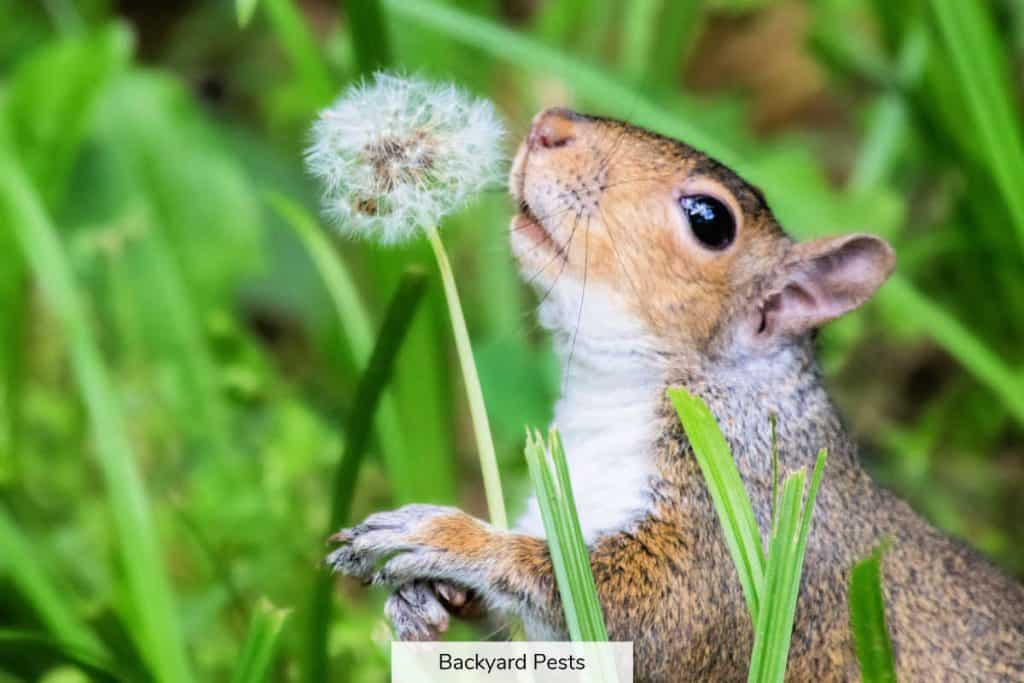 Eastern Gray Squirrel Sciurus carolinensis sniffing a dandelion in Maryland during the Spring